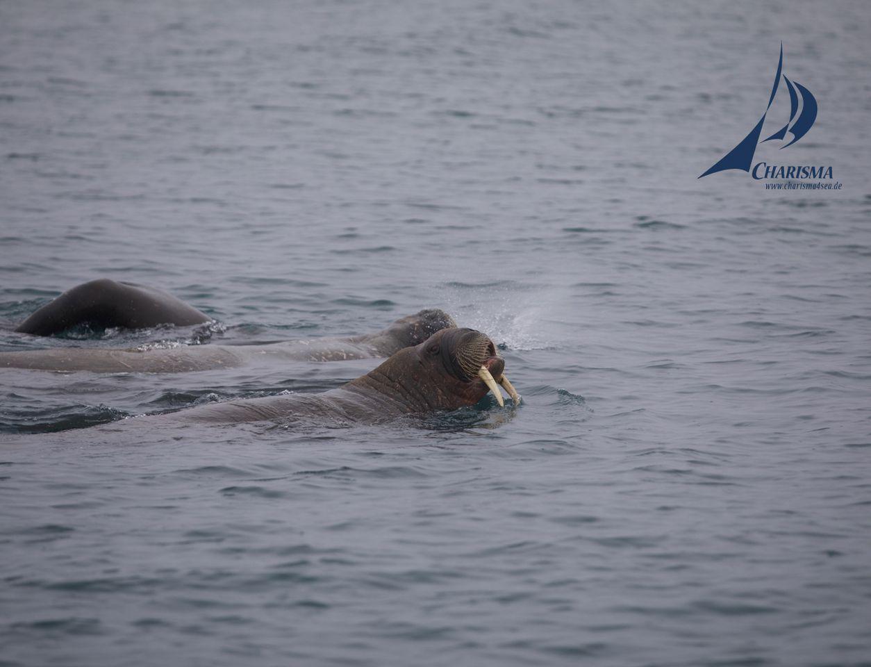 Zwei schwimmende Walrösser