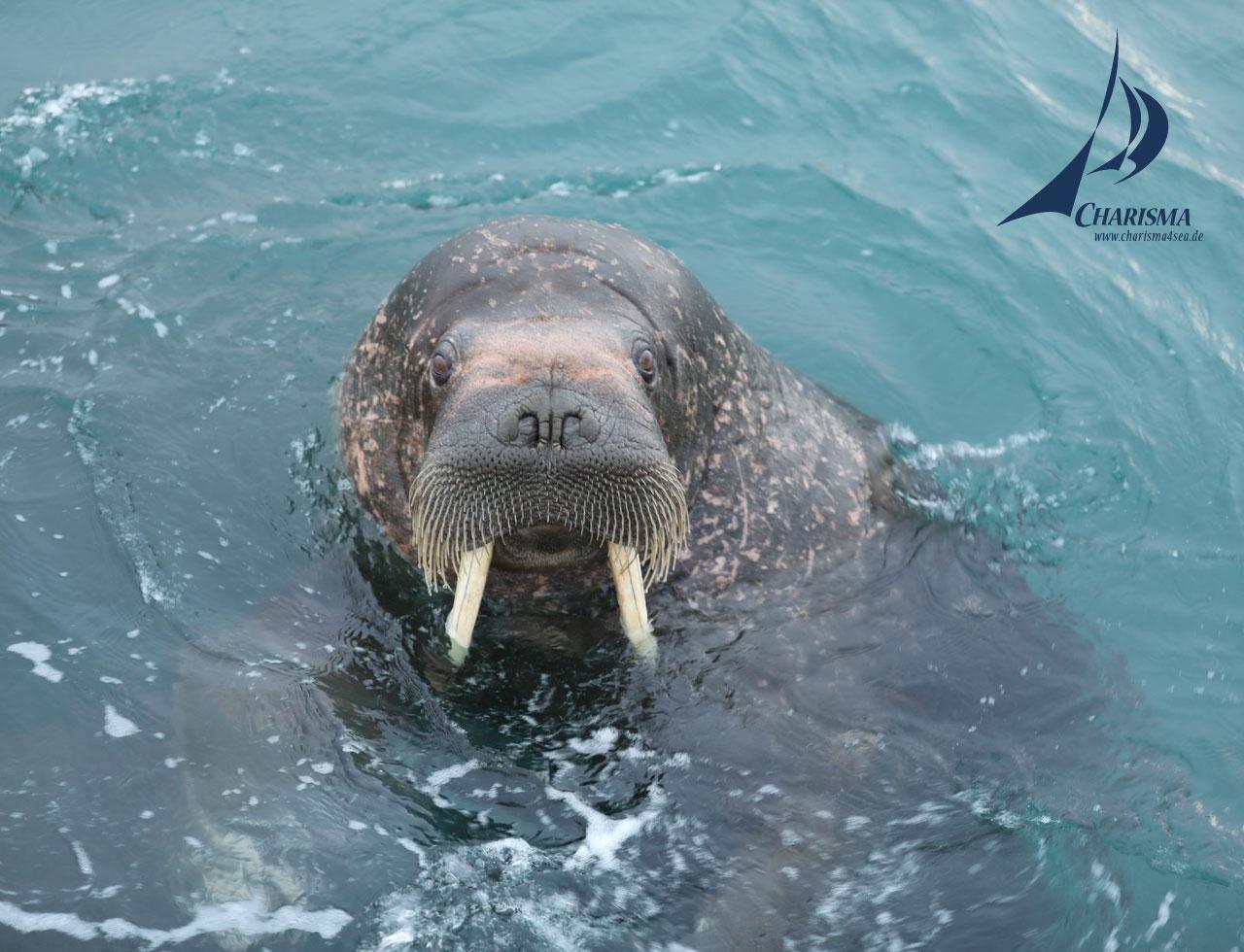 Walross zu Besuch