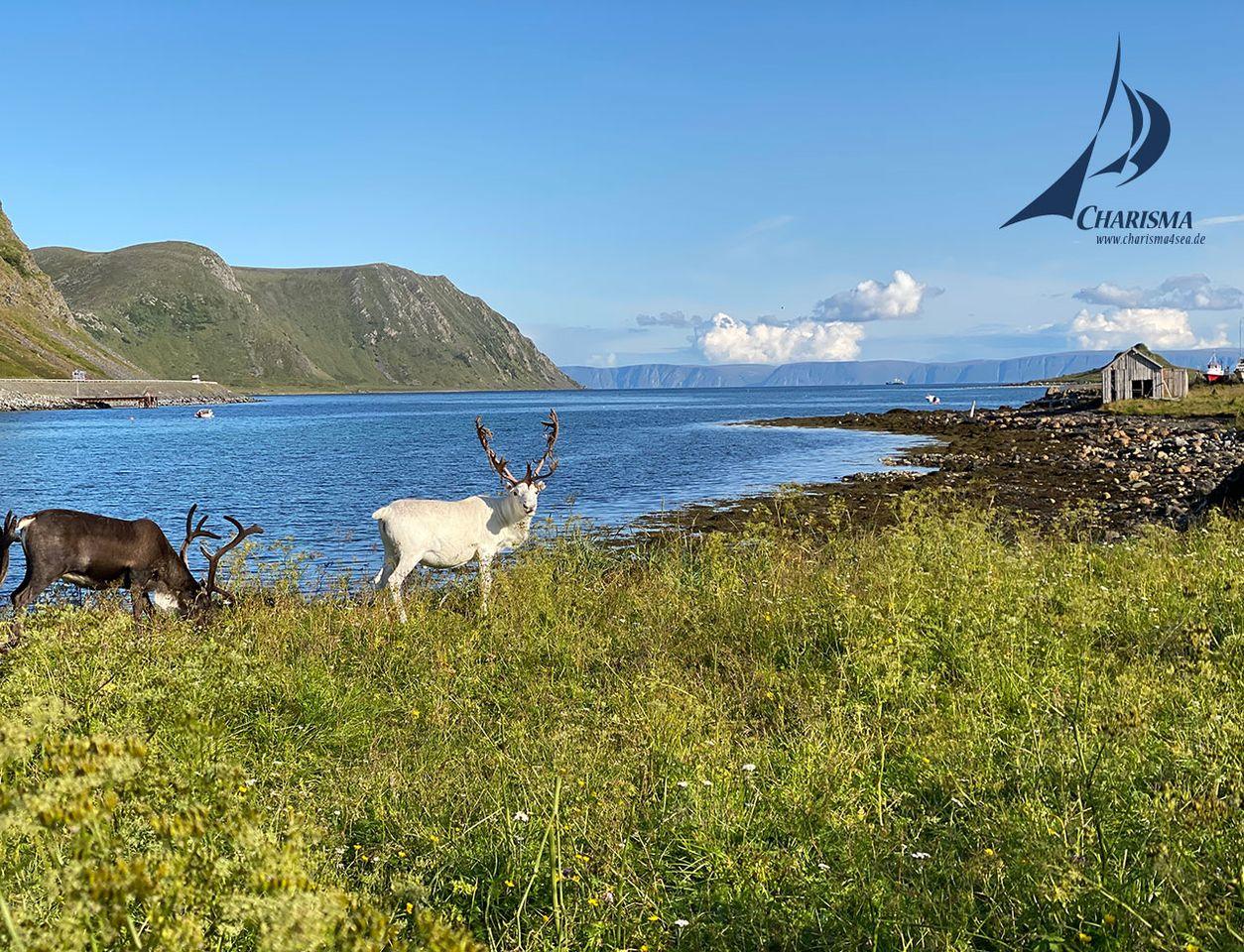 Rentiere vor Fjordlandschaft