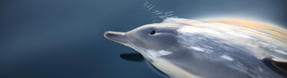 Delfine begleiten die SY Charisma